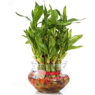 Flat 70% off on Lucky Bamboo Plant with Big Round Glass Bowl