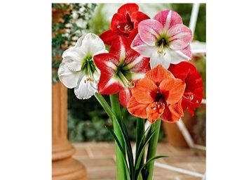 Bulb Mix of Vibrant True Lily Flower Bulbs (Pack of 1) - Set of 1