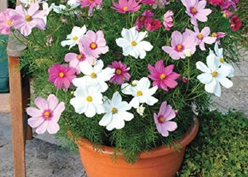 Splendour Seeds ® Cosmos Dwarf sensation mix flower seeds