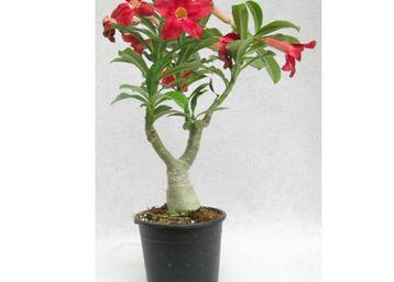 THE BONSAI Rose Plant, Min 2 Qty, At Rs.130